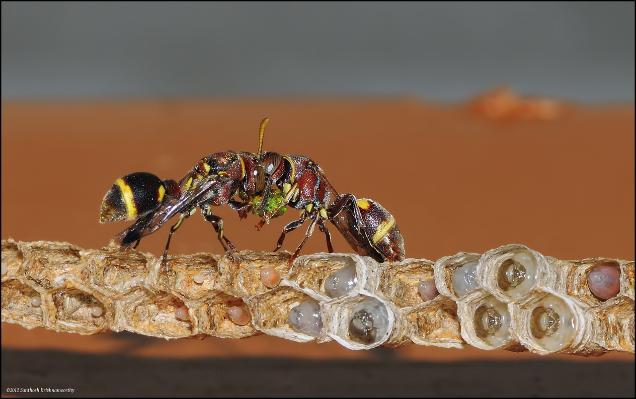 Paper wasps with feed for their young