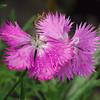 Raindrops on pink petals