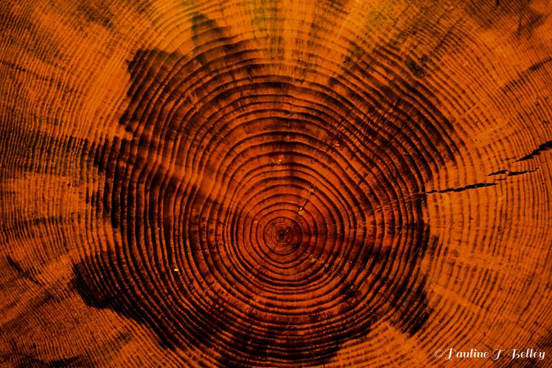 DSC_0699 Tree Rings