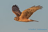 Northern Harrier - 15