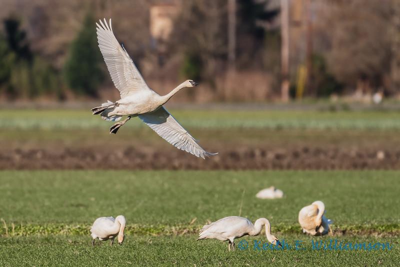 Trumpeter Swan, landing