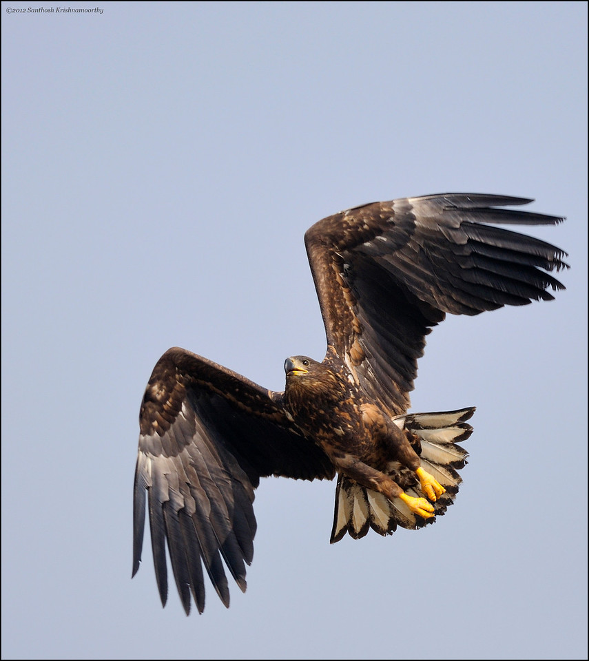 White-tailed Eagle ( A great rarity in the Indian Subcontinent, an amazing and majestic bird, was lucky to have seen this )