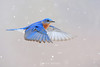 Bluebird in flight in snow