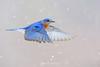Bluebird in flight in snow