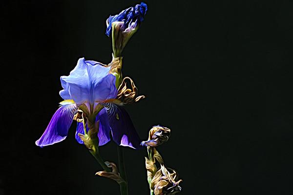 Sun Kissed Iris