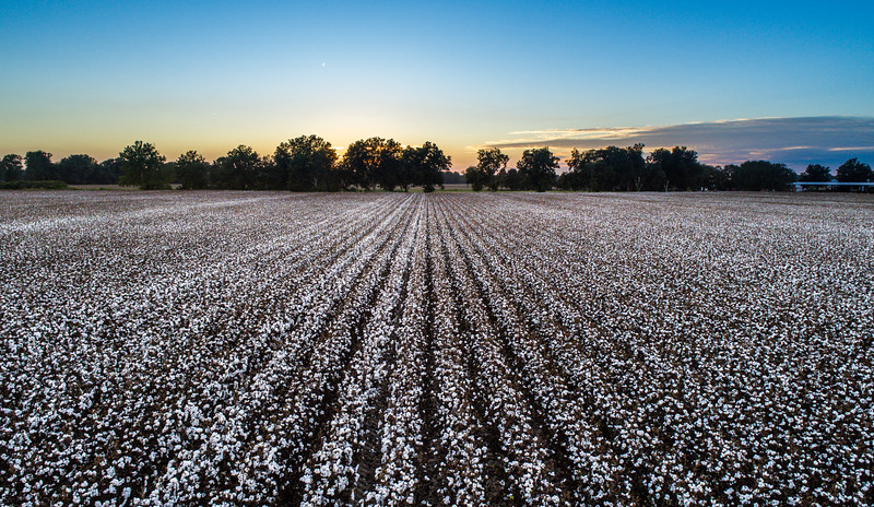 Delta Cotton Sunset