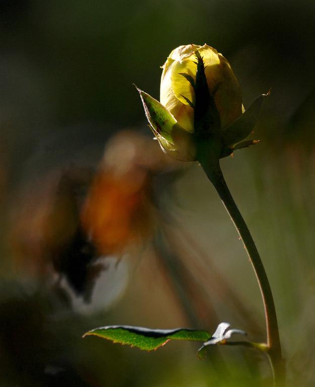 Fall Rose Bud, Raleigh Rose Garden, 2011