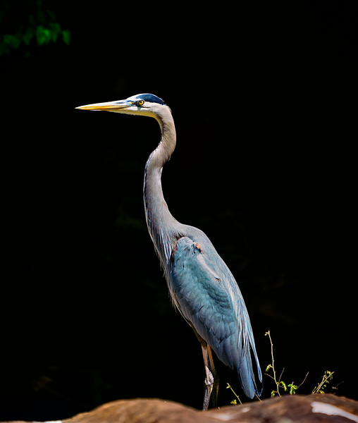 Great Blue Heron (enhanced with Topaz AI)