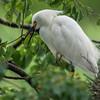 DSC_0981 Egret