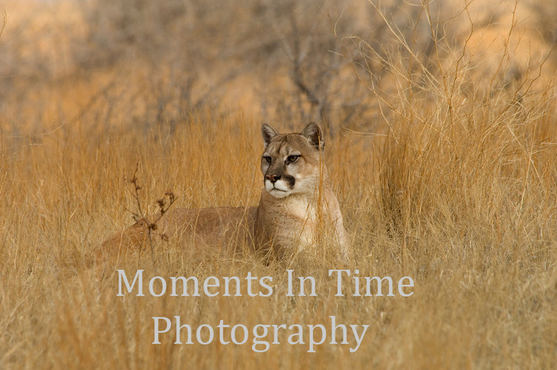 Cougar resting in grass