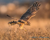 Northern Harrier - 12