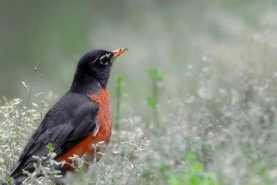 American Robin, Raleigh, NC, May 2013