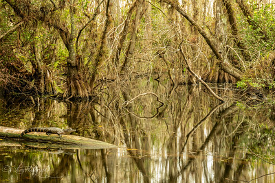 Alligator's Kingdom - Big Cypress Preserve, FL 2018