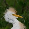 DSC_0038 Egret