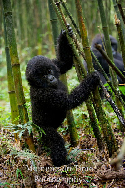 young gorilla standing in bamboo