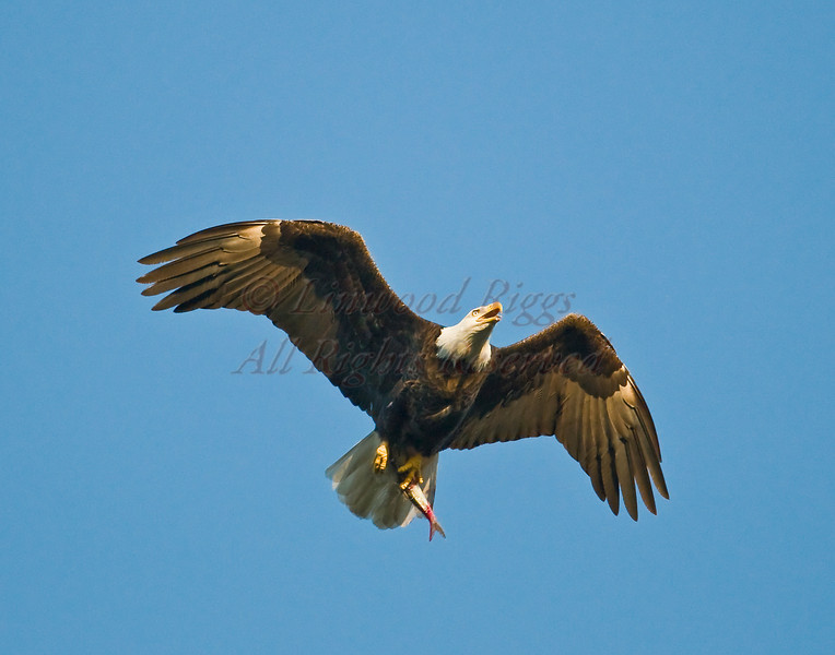 A Bald Eagle carries a fish back to its nest in Damariscotta Mills, ME