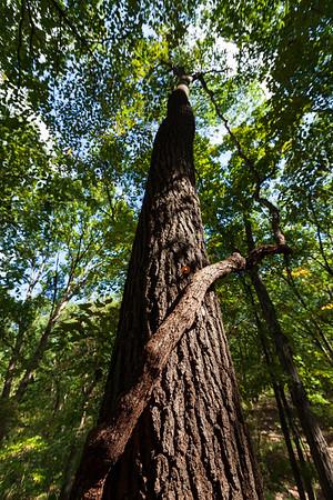 Black Oak (Quercus velutina) & Liana (Vitus sp.), Tyson Forest Dynamics Plot, Missouri