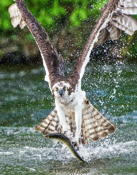 This Osprey just dove into Cobbossee Stream in Gardiner, Maine, and is flying back to its nest with some sushi.