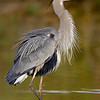 great blue heron, riparian reserve, gilbert, az