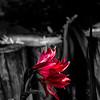 DSC_0462 Red Flower B&W