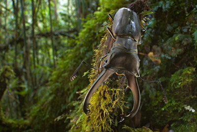 Stag beetle (Cyclommatus eximus) from Papua New Guinea
