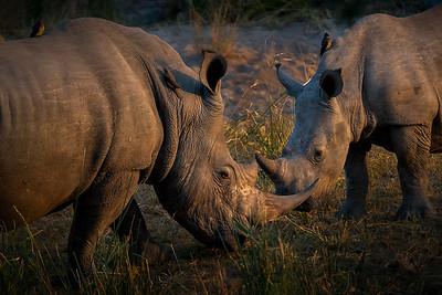 Jousting Rhinos