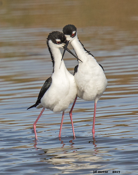 black-necked stilts courting, south padre tx