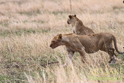 Two lionesses looking and listening.  This reminds me of a famous paining.