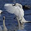 Trumpeter swan, #0615