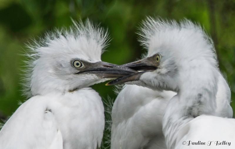 DSC_0059 Egrets