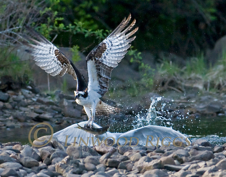 A Gull tries to snatch an Alewife from an Osprey at Damariscotta Mills, Maine