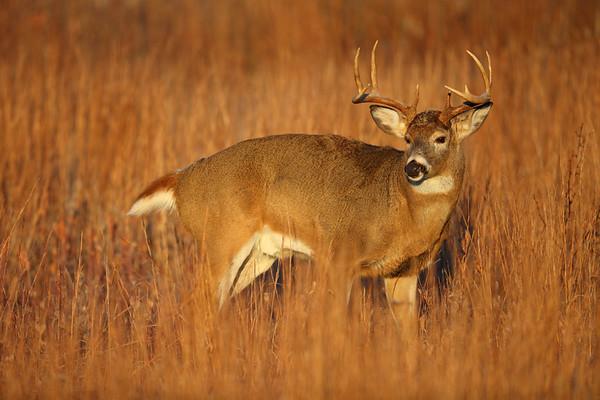Big Buck in Early Morning Sunlight, Shenandoah National Park