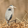 great blue heron, bosque del apache, nm