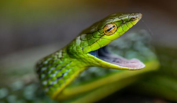 Bronze-headed vine snake