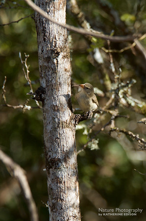 Darwin's Finch--Woodpecker Finch