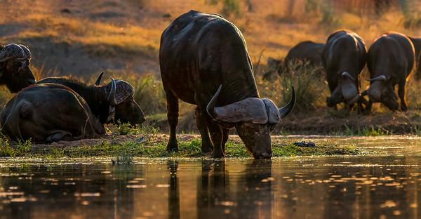 Africa Buffalo