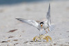 Least tern and ghost crab