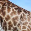 Netzmuster, Detail des Fells einer Giraffe, (Giraffa camelopardalis), Hluhluwe-Imfolozi Game Reserve, KwaZulu-Natal, Südafrika