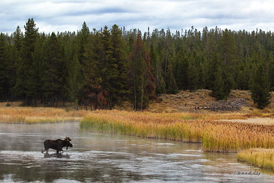 Teton Moose Crossing Snake River