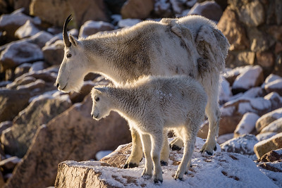 Mountain Goat Mother