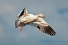 Snow goose, Fir Island, November 5th, 2011