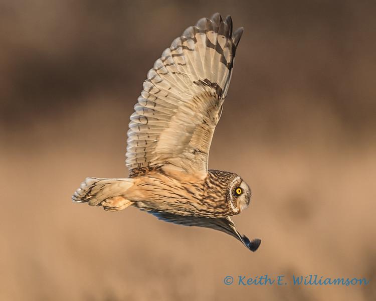 Short-eared Owl - 18
