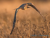 Northern Harrier - 14