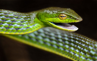 Bronze headed vine snake