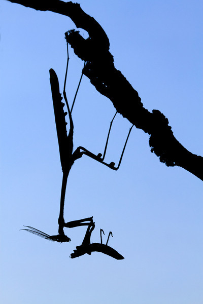 Cape praying mantis (Hemiempusa capensis) from South Africa devouring a grasshopper