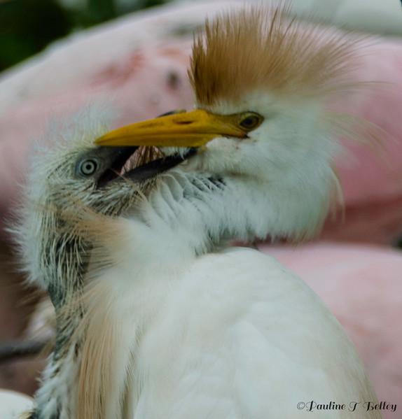 DSC_0965 Egret