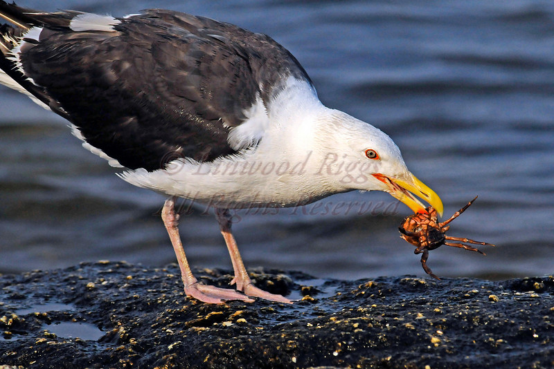 A Greater Black Backed Gull devours a crab at Popham Beach, Maine.