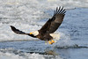 Bald eagle takeoff with fish