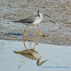 Lesser Yellowlegs, Fir Island