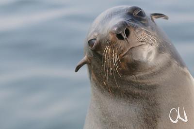 Brown Fur Seal, Cape Fur Seal, Südafrikanischer Seebär, Kap-Pelzrobbe, Arctocephalus pusillus, Ohrenrobbe, Otaridae, Eared seals, Otariids, portrait, Porträt, Walvis Bay, Namibia